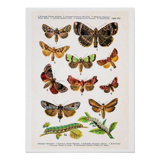 Antique plate, butterflies of Europe: plate 15 Poster