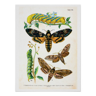 Antique plate, butterflies of Europe: plate 7 Poster
