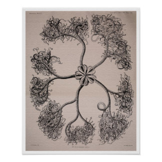 Antique plate Ophiuroidea (Brittle Star) Poster