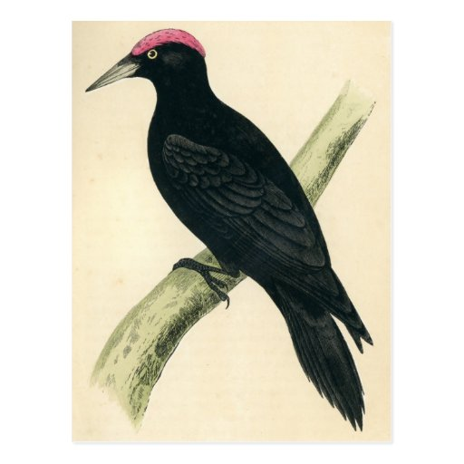 Antique Print of a Black Woodpecker Post Cards