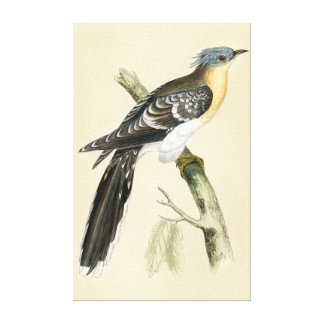 Antique Print of a Great Spotted Cuckoo Gallery Wrap Canvas