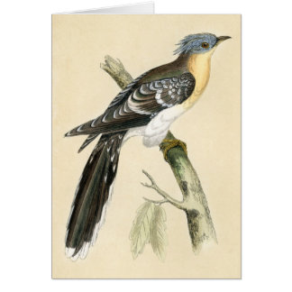 Antique Print of a Great Spotted Cuckoo Greeting Cards