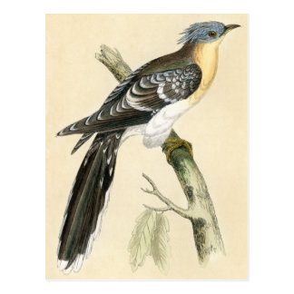 Antique Print of a Great Spotted Cuckoo Postcard