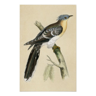Antique Print of a Great Spotted Cuckoo