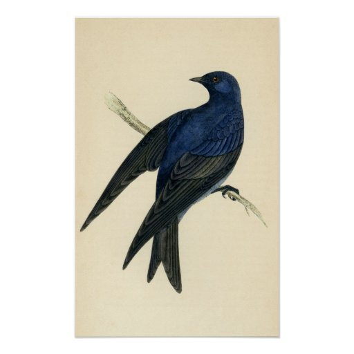 Antique Print of a Purple Martin