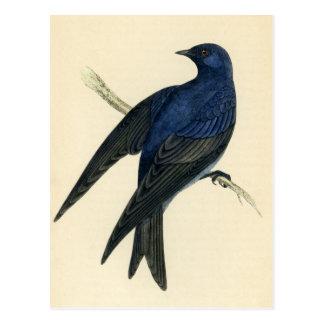 Antique Print of a Purple Martin Postcard