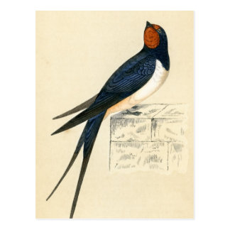 Antique Print of a Swallow Post Card