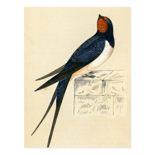 Antique Print of a Swallow Postcard