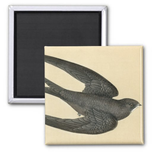 Antique Print of a Swift 2 Inch Square Magnet