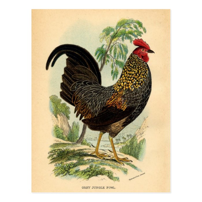 Antique Print Vintage Rooster Cockerel Postcard