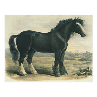 Antique Vintage Black Shire Draft Horse Postcard