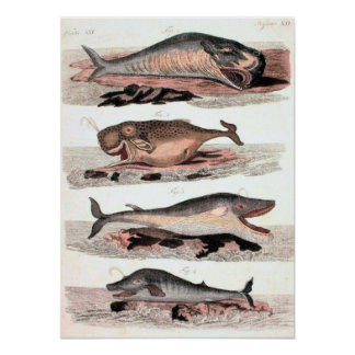 Antique Whale Sketch Poster Natural History
