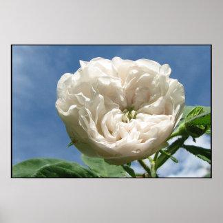 Antique White Rose Poster