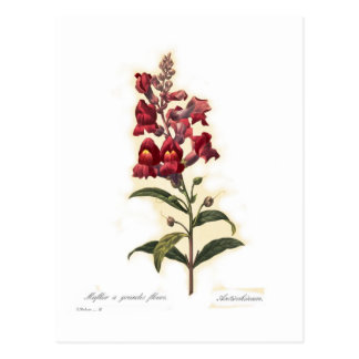 Antirrhinum Postcard