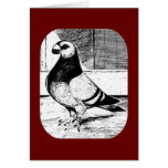 Antwerp Short Faced Pigeon Greeting Cards