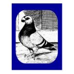 Antwerp Short Faced Pigeon Postcard