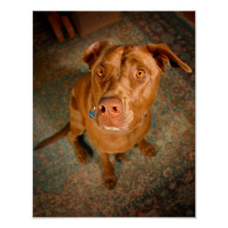 Anxious Chocolate Lab Pit Mix Dog Poster