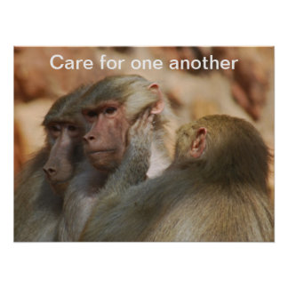 Ape caring for one another poster