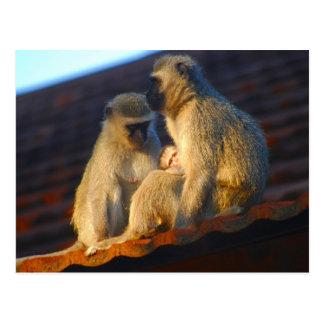 Ape family moments photo postcard