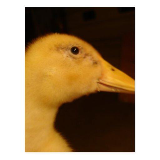 Apenas Ducky Postales