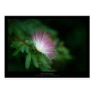 Apenas flor rosada y blanca Caliandra 011 de una Tarjetas Postales