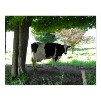 Apenas un chillin de la vaca debajo de árboles con tarjetas postales