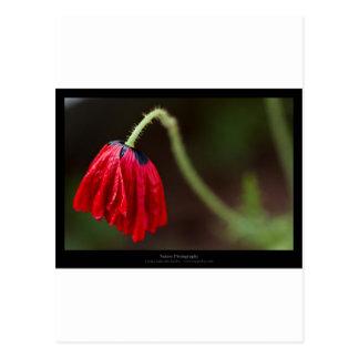 Apenas una flor - amapola roja 012 de la flor postal