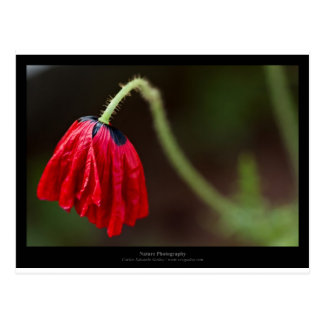 Apenas una flor - amapola roja 012 de la flor tarjeta postal