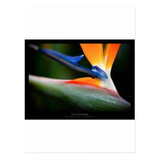 Apenas una flor - flor 013 del Strelitzia Postales