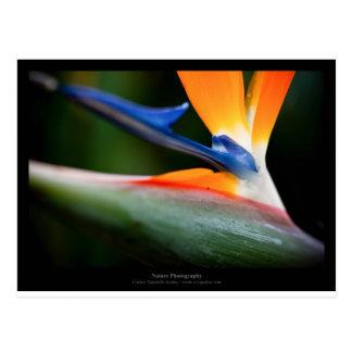 Apenas una flor - flor 013 del Strelitzia Tarjeta Postal