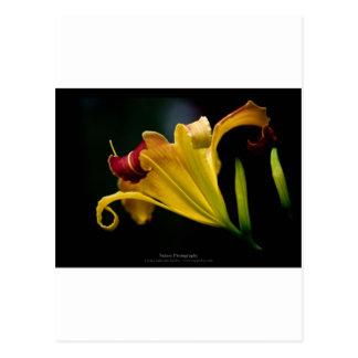 Apenas una flor - flor amarilla 016 del lirio tarjetas postales
