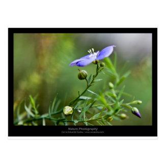 Apenas una flor - flor azul 002 postales