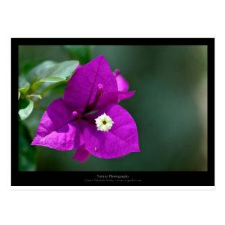 Apenas una flor - flor púrpura Bouganvillea 010 Postal