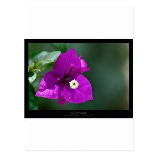 Apenas una flor - flor púrpura Bouganvillea 010 Postales