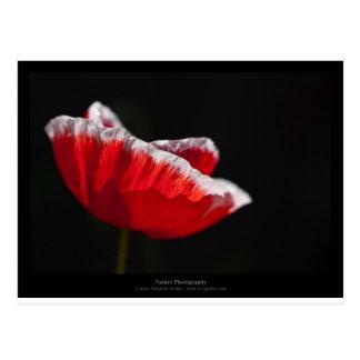 Apenas una flor - flor roja 014 de la amapola tarjeta postal