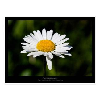 Apenas una flor - margarita blanca 005 tarjeta postal
