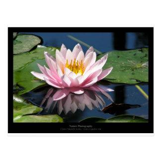 Apenas una flor - pique waterlily la flor 007 tarjetas postales