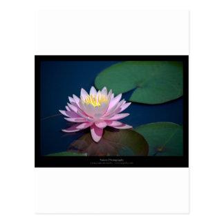 Apenas una flor - pique waterlily la flor 008 tarjeta postal
