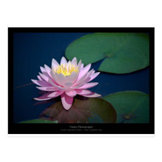 Apenas una flor - pique waterlily la flor 008 tarjetas postales