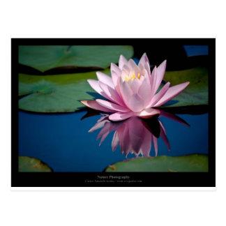 Apenas una flor - pique waterlily la flor 009 tarjeta postal