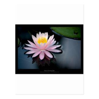 Apenas una flor - pique waterlily la flor 037 postal