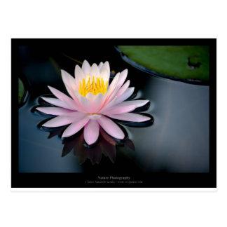 Apenas una flor - pique waterlily la flor 037 tarjetas postales