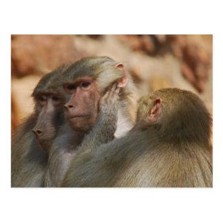 Apes clean ears postcard