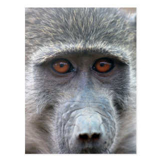 Apes look into ones eyes postcard