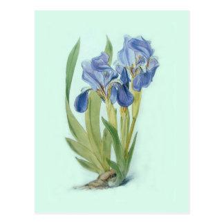 Aphylla del iris tarjetas postales