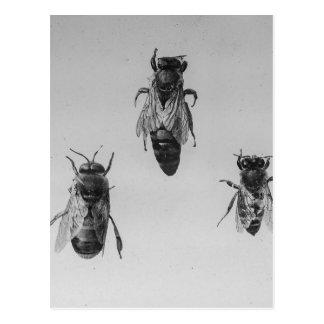 Apiarist de la apicultura de trabajador del abejón tarjeta postal