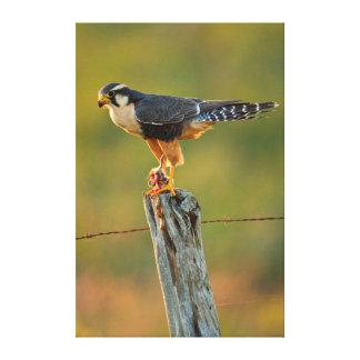 Aplomado Falcon (Falco Femoralis) Adult Feeding Gallery Wrapped Canvas