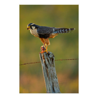Aplomado Falcon (Falco Femoralis) Adult Feeding Poster