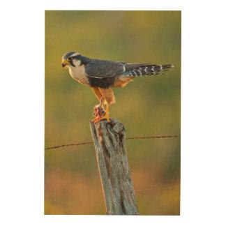 Aplomado Falcon (Falco Femoralis) Adult Feeding Wood Canvases