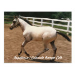 Appaloosa / Colorado Ranger Colt (titled) Postcard